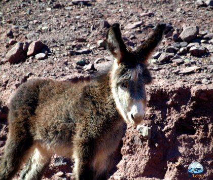 Burros Selvagens Deserto de Atacama RG Local