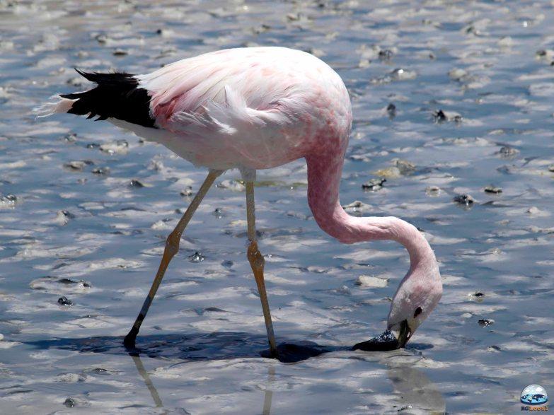 Flamingos do Deserto de Atacama RG Local