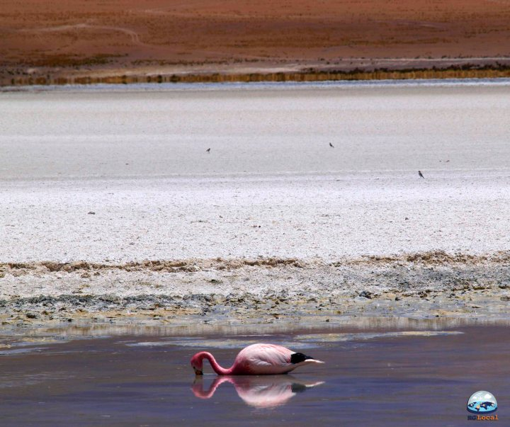 Flamingos do Deserto de Atacama RG Local