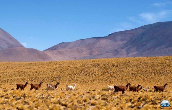 Os Camelídeos do Deserto de Atacama RG Local