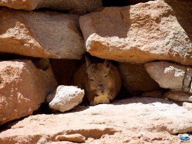 Viscacha do Deserto de Atacama RG Local