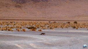 Zorra, a Raposa do Deserto de Atacama RG Local