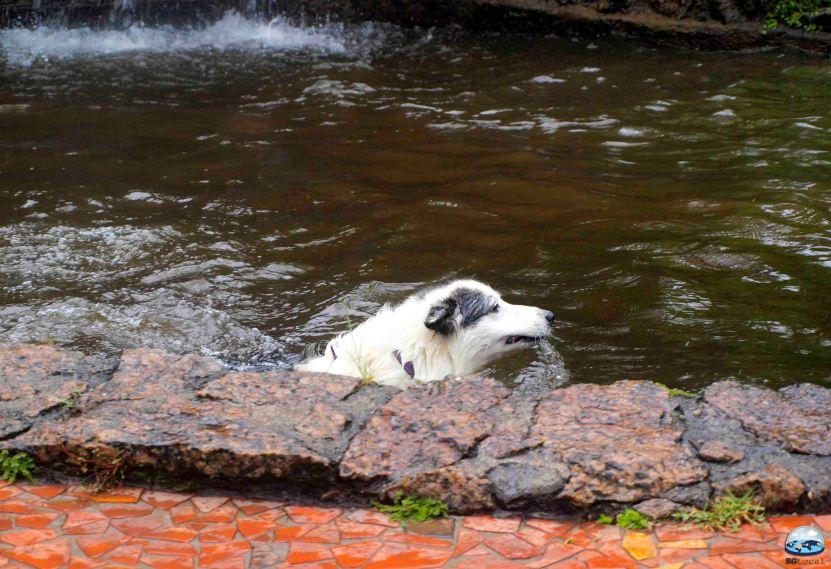 Mel, uma apaixonada pela água, aproveita a piscina de cães da Pousada!